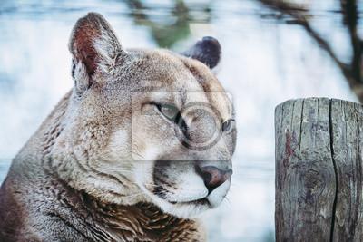 Portrait de puma