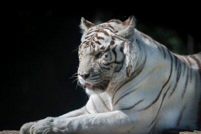 portrait de tigre blanc