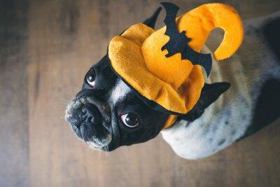 Fototapete Portrait der französischen Bulldogge mit Hut Halloween