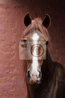 "Portrait der peruanischen Pferd ""Caballo de Paso"""