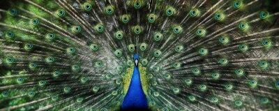 Fototapete Portrait der schönen Pfau mit Federn aus