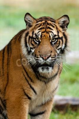 Fototapete Portrait der schönen Sumatra Tiger Panthera Tigris Sumatrae