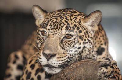 Portrait des Leoparden