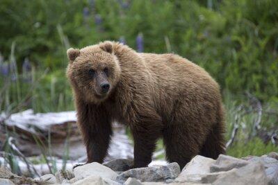 Fototapete Portrait des wilden kostenlose Roaming-Braunbären