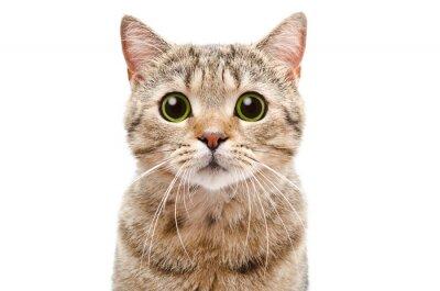 Fototapete Portrait einer überraschten Katze Scottish Straight