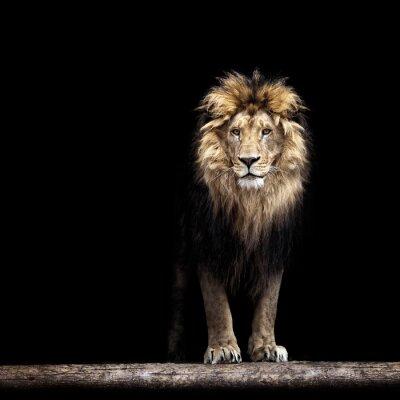 Fototapete Portrait of a Beautiful lion, lion in the dark