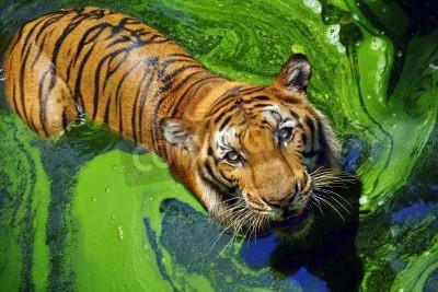 Fototapete Portrait of a bengal tiger