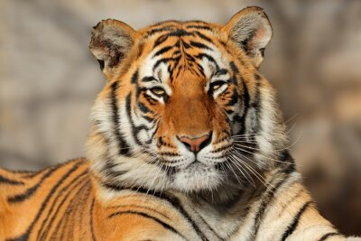 Fototapete Portrait of a Bengal tiger (Panthera tigris bengalensis).