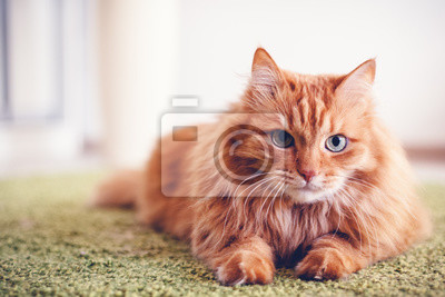 Fototapete Portrait of a funny beautiful red fluffy cat with green eyes in the interior, pets