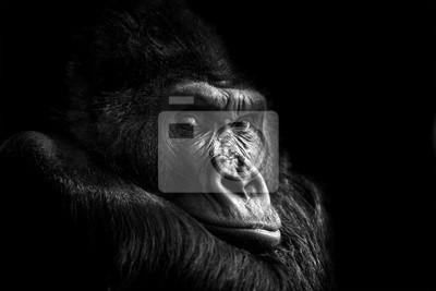Fototapete Portrait of a Gorilla