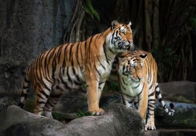 Fototapete Portrait of a Royal Bengal tiger