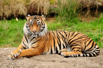 Fototapete Portrait of a Royal Bengal tiger alert and staring at the camera
