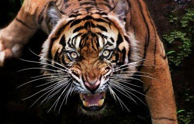 Fototapete portrait of a tiger
