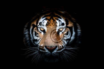 Fototapete Portrait of a Tiger with a black background