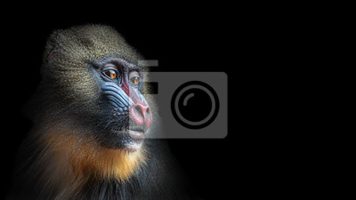 Fototapete Portrait of colorful curious African mandrill, an alpha male at black background
