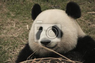 Portrait Of Giant Panda Bar Essen Bambus China Fototapete