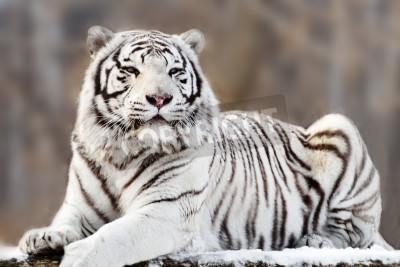 Fototapete Portrait of lying white tiger
