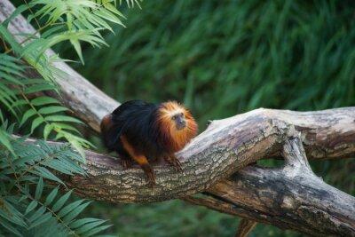 Fototapete Portrait of Tamarin with golden head standing on tree branch