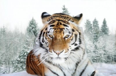 Fototapete Portrait of the Amur tiger on a background of a snow taiga
