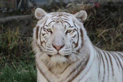 portrait tigre blanc