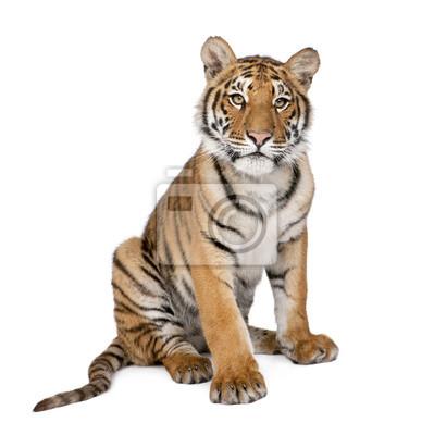Fototapete Portrait von Bengal Tiger, 1 Jahr alt, sitzt, Studioaufnahme, Pant