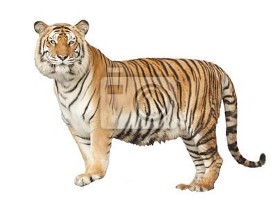 Portrait von einem Royal Bengal Tiger