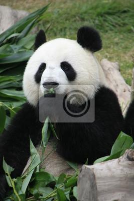Portrait Von Riesenpandabaren Essen Bambus China Fototapete