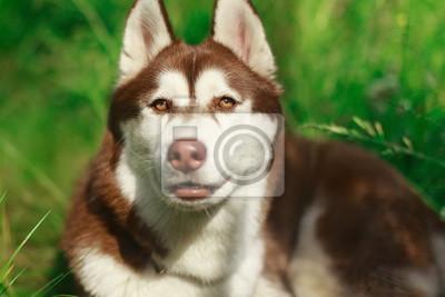 Husky Retro Kühlschrank : Portrait von schwerem atem siberian husky hund brauner pelz