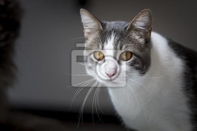 Porträt d'un Chat tigré blanc