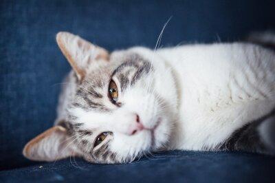 Porträt d'un jeune Chat tigré blanc