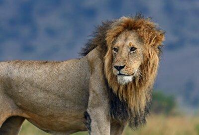 Fototapete Porträt des afrikanischen Löwen