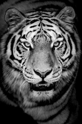 Fototapete Porträt des Tigers