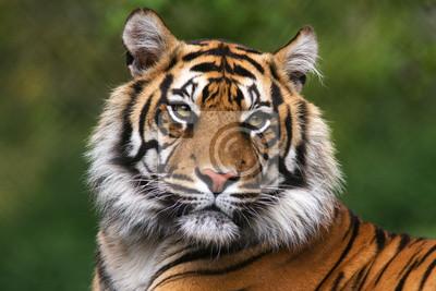 Fototapete Porträt einer Bengal-Tiger