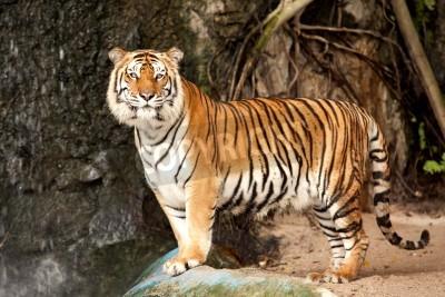 Fototapete Porträt einer Königlicher Bengal-Tiger wach und starrt in die Kamera