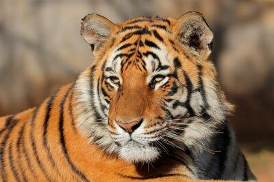Fototapete Porträt eines Bengal-Tigers (Panthera tigris bengalensis).