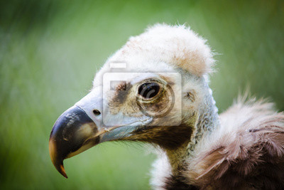 Fototapete Porträt eines Greif im Zoo