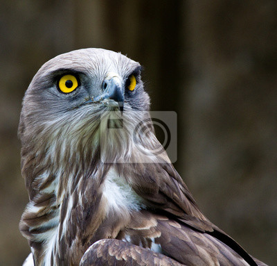 Porträt eines Schlangenadlers
