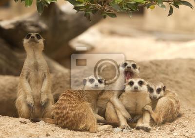 Porträt Gruppe von Erdmännchen