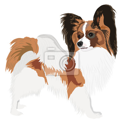 Porträt von einem Hund der Rasse Papillon. Vektor-Illustration