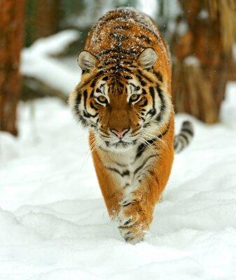 Fototapete Porträt von einem sibirischen Tiger