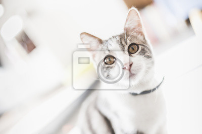 Porträt von jeune Chat blanc und tigré