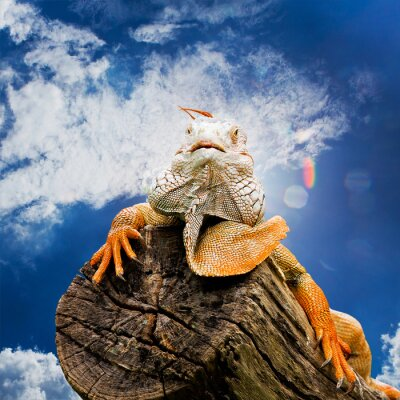 Fototapete Porträt von Makro Schuss auf Leguan Kopf