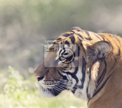 Porträt von Tiger