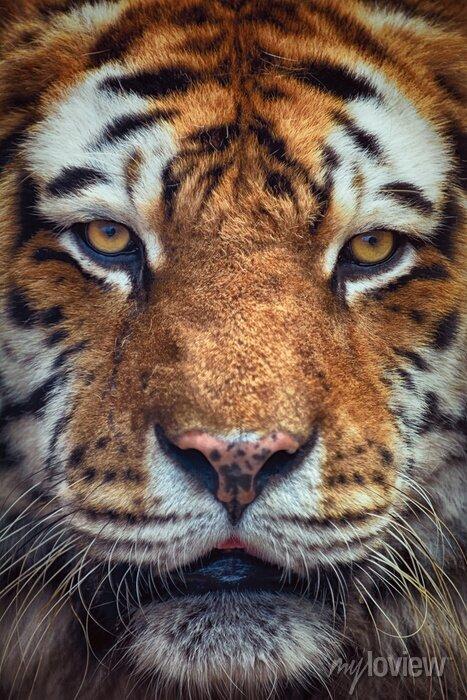 Fototapete Porträt von Tiger