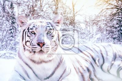 Porträt von un tigre blanc dans la forêt enneigée
