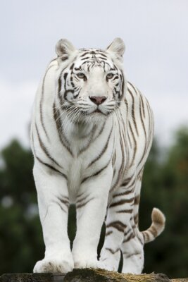 Fototapete Porträt Weißer Tiger