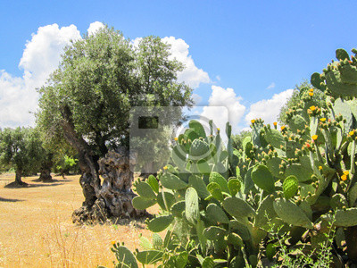 Prickly Pear Cactus And Olive Tree Puglia Italy Fototapete