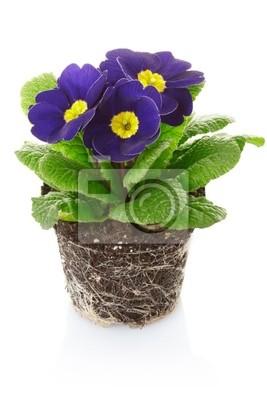 Primrose Blume
