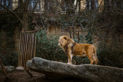 Fototapete Proud Lion. Beautiful lion standing on a ston. Single lion looking regal standing proudly on a small hill. The king of beasts, a lion stands on a dais and looks into the distance at his domain