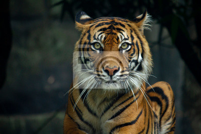 Fototapete Proud Sumatran Tiger laying down and looking straight at the camera 2